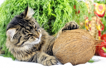 Should You Add Coconut Oil To Your Cat's Food?