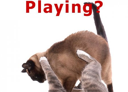 cats-playing-or-fighting.jpg