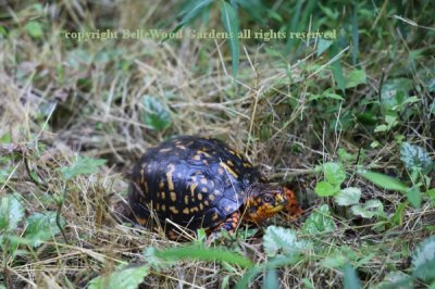Box Turtle_2019-08_in the weeds.jpg