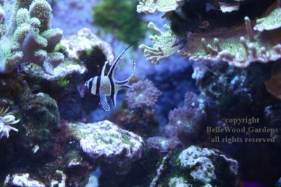 Aquarium_2019-12_angelfish.jpg