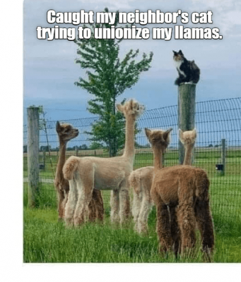 alpaca-caught-my-neighbors-cat-trying-unionize-my-llamas.png