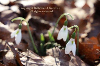 BelleWood in Bloom_2020-01_Galanthus nivalis Atkinsii.jpg