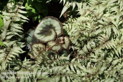Five Vermont Gardens-Patsy Highberg_2019-06_Japanese painted fern and begonia.jpg