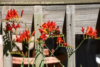 BelleWood in Bloom_2020-07_Crocosmia Lucifer-multiple.jpg