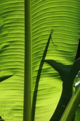 BelleWood in Bloom_2020-07_shadow of a new banana leaf.jpg