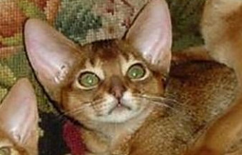 Abyssinian Cat Adoption New York