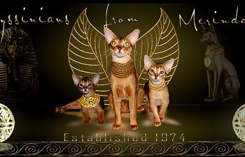 Abyssinian cats for sale minnesota
