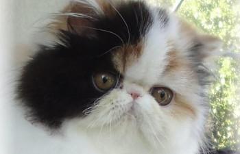 Exotic Shorthair Cat B...
