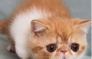 Exotic Shorthair Cat Breeders | TheCatSite