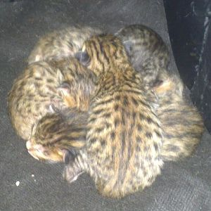 Honey and Khaans litter came yesterday 27/03/2013