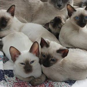 Two sweet Siamese kittens, What color are we?