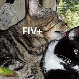 How long can FIV and FHV live outside of the body?