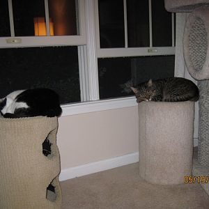 Hercules and Ritz, sitting in a (cat) tree, k ....