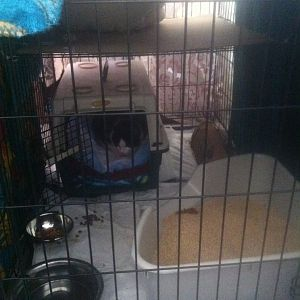 Contained feral having cage rage, difficulty accessing him for care (pics)