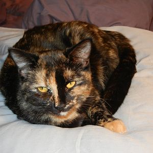 Post pics of calicos, tortieshells and orange cats here!