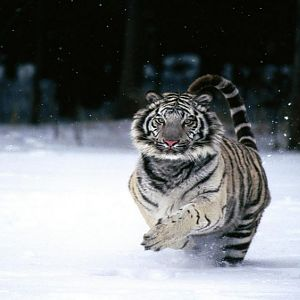 In a Hurry, White Tiger (Copy).jpg