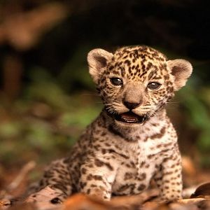 Jaguar Kitten (Copy).jpg