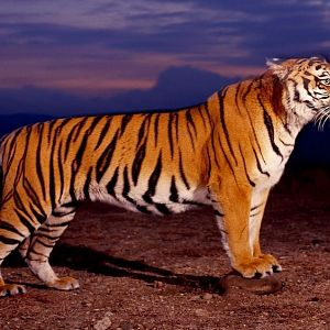 Bengal Tiger (Copy).jpg