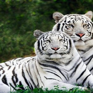 White Phase, Bengal Tigers (Copy).jpg