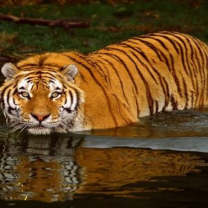 Swimming Tiger (Copy).jpg