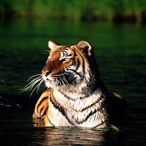 Taking a Dip, Bengal Tiger (Copy).jpg