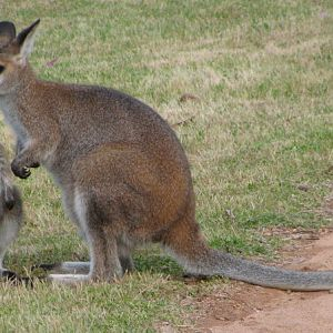 Red neck wallaby mum & baby.jpg