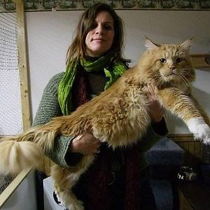 big-fluffy-and-definitely-adorable-maine-coon-cat-