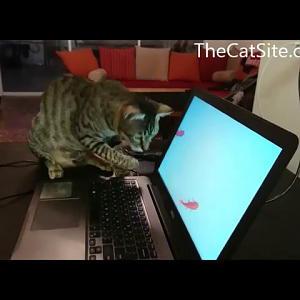 Cat fishing from laptop