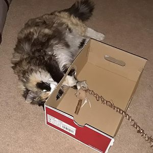 Cut a hole in the side of the shoe box and Lulu has a new box to play in.