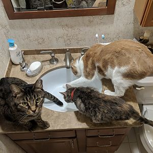 3 Cats and a Sink