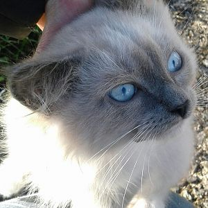 Ice Blue Eyes    Siamese Mix bi-color