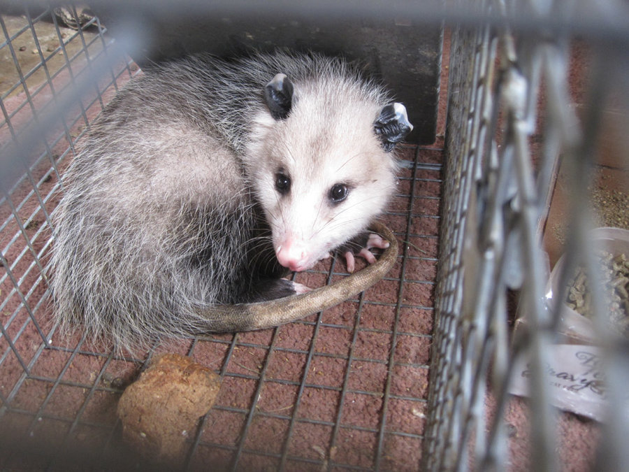 When the problem is the possum | TheCatSite