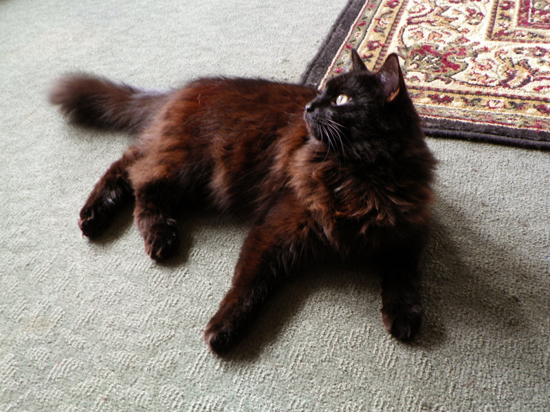Light Brown And Black Cat Breed