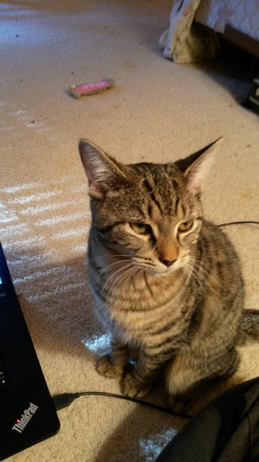 Probable FIP diagnosis - I don't think I can bear this | TheCatSite