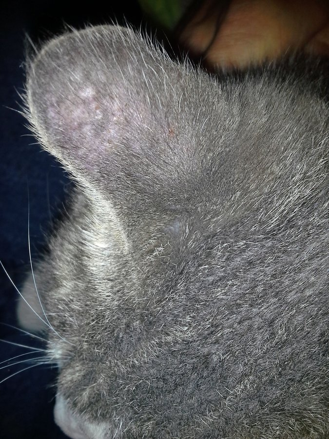 Gray Fleas For Cats