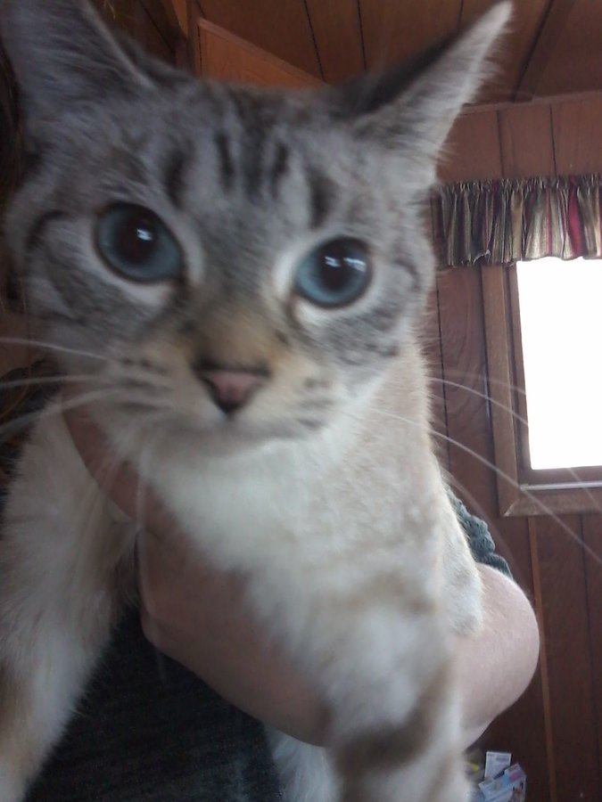 Lynx Point Siamese With Spots Thecatsite