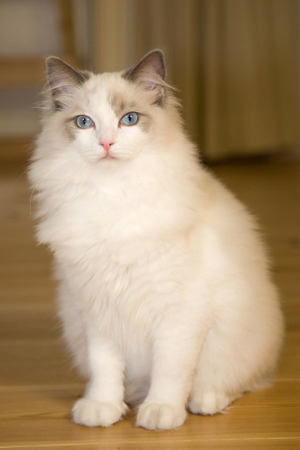 Ragdoll Cats The Cat Site