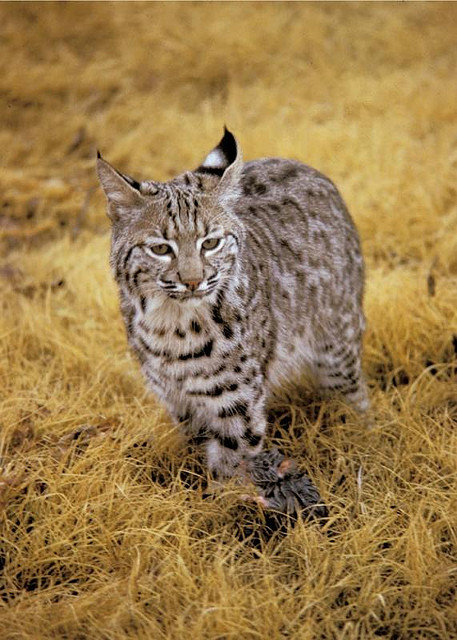 Ear Tufts On Dsh Cats Thecatsite