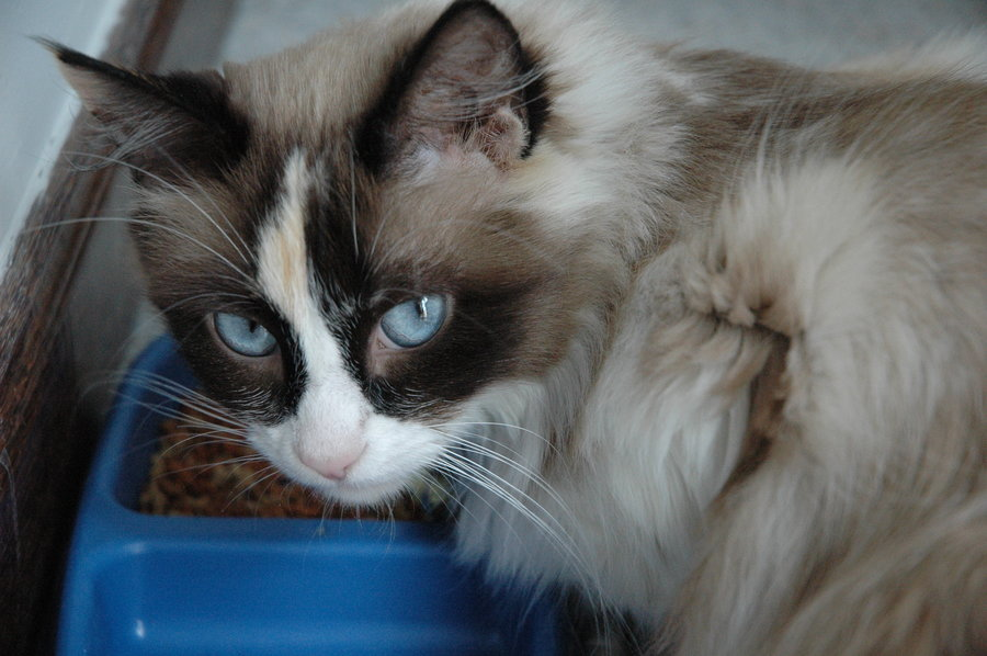 Help Identifying Cat Mix Ragdoll Snowshoe Thecatsite
