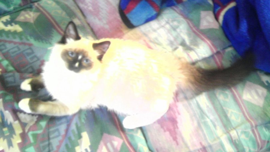 Is this a Birman or Ragdoll kitten The Cat Site