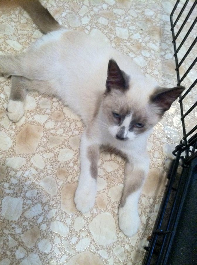 My Cat Is Mixed Breed Was Told Ragdollsnowshoe New Profile Pic