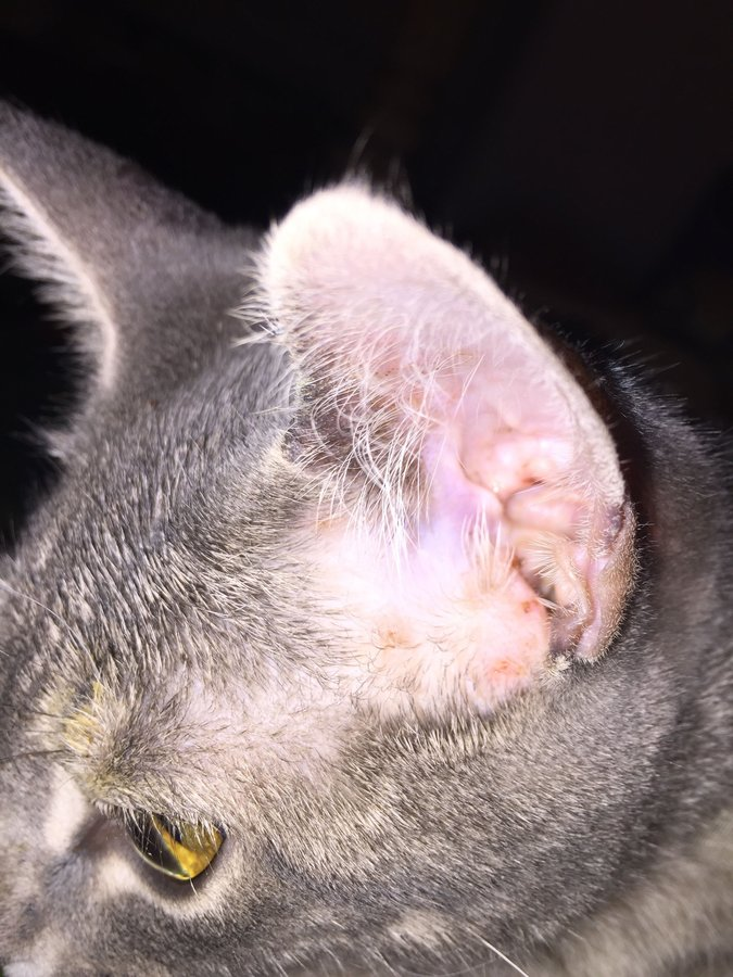 Can You Get Ear Mites From Your Dog