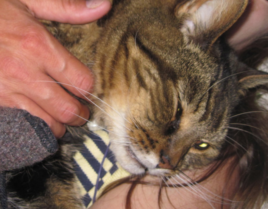 Distemper vaccine linked to kidney failure in cats? | TheCatSite