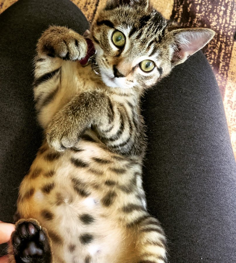 Possible Bengal Mix? OR Just a regular Tabby? | TheCatSite