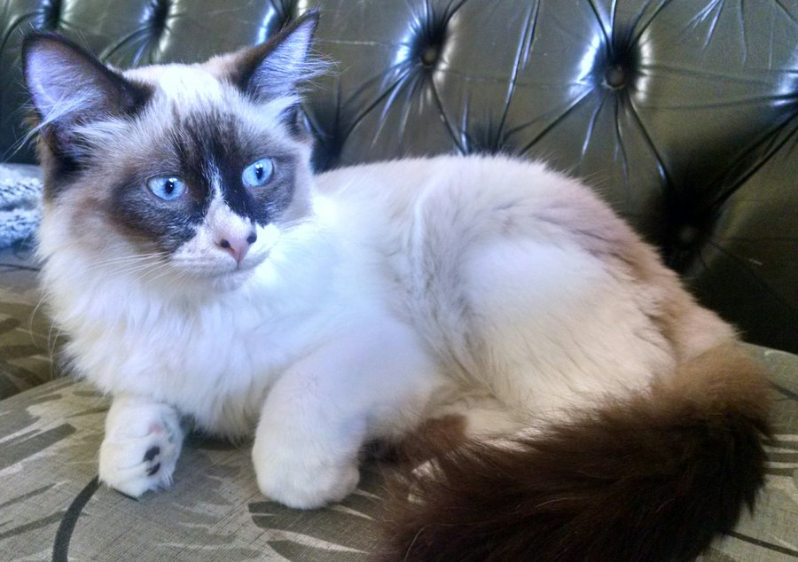 Ragdoll Snowshoe Or Siamese Mix Help Please Thecatsite