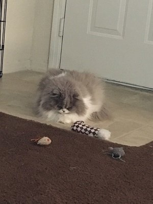 This Is Belle. She Was Born Around 2009, I Believe. In 2010, Her Original  Owner Put An Ad Up On Craigslist Advertising Her As A Purebred Persian With  Two ...