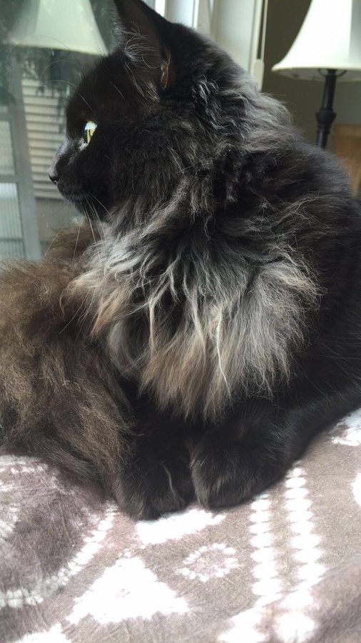 is my cat a black smoke ragdoll thecatsite