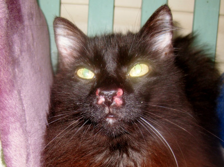 Sores On My Cats Nose Thecatsite