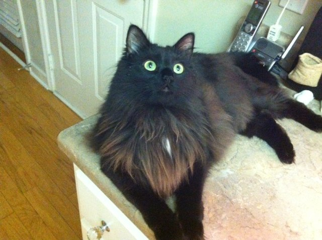 Am I a Maine Coon???? | TheCatSite