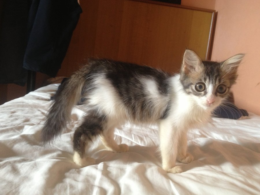 Bought A Cat From Malaysia Thecatsite